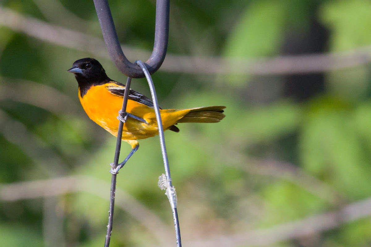 Orioles; How to Attract