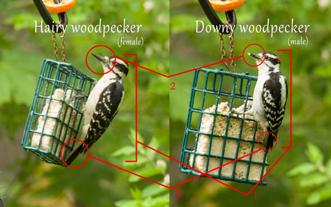 Woodpecker Differences