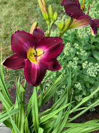 Daylily for pick up
