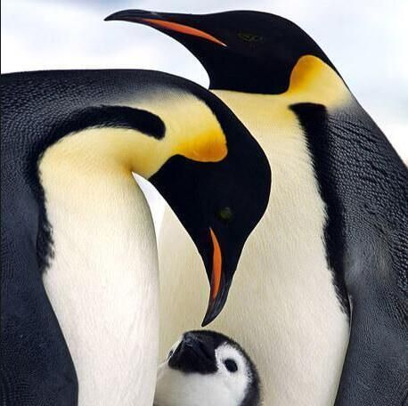 Family Of Penguins Diamond Painting Kit - DIY