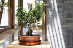 Indoor Ficus bonsai in the front of a window