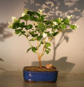 Arabian Jasmine Bonsai - Bonsai Creek
