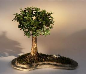 Baby Jade Bonsai on a Rock Slab