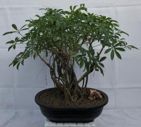 Banyan Style Hawaiian Umbrella Bonsai