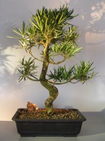 Buddhist Pine Bonsai - Bonsai Creek