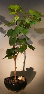 Chardonnay Grape Bonsai - Bonsai Creek