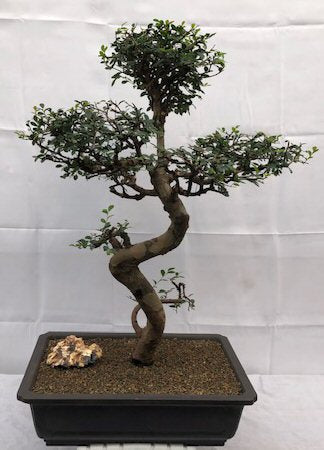 Chinese Elm Bonsai - Cured Trunk & Tiered Branches