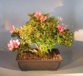 'Chinzan' Azalea Bonsai - Bonsai Creek