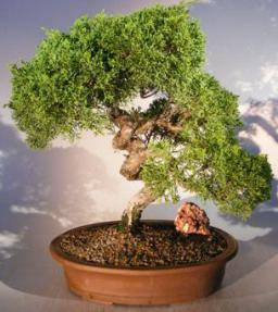 Coiled Shimpaku Juniper Bonsai
