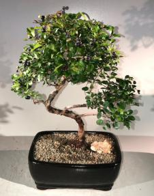 Curved Sweet Plum Bonsai
