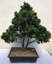 Load image into Gallery viewer, Dwarf Hinoki Cypress Bonsai - Bonsai Creek