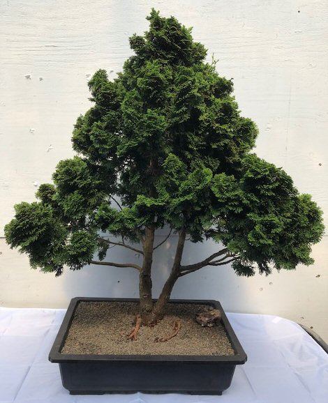 Dwarf Hinoki Cypress Bonsai - Bonsai Creek