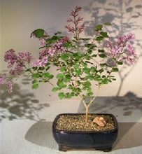 Load image into Gallery viewer, Dwarf Korean Lilac Bonsai