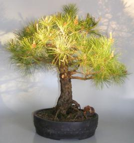 Eastern White Pine Bonsai