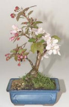 Load image into Gallery viewer, Sargent Crabapple Bonsai