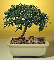 Flowering Brush Cherry Bonsai