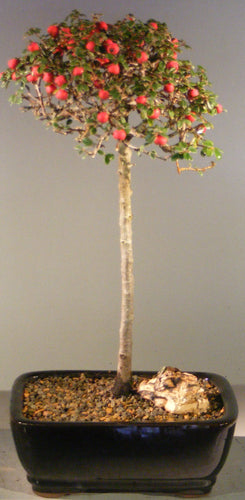 Evergreen Cotoneaster Bonsai