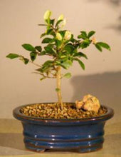 Load image into Gallery viewer, Lavender Star Flower Bonsai
