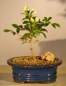 Lavender Star Flower Bonsai