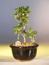 Load image into Gallery viewer, Fukien Tea Bonsai