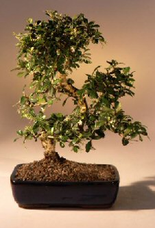 Fukien Tea Bonsai - Bonsai Creek