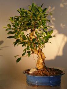 Golden Coin Ficus Bonsai
