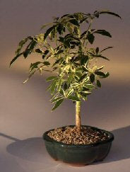 Golden Hawaiian Umbrella Bonsai - Bonsai Creek
