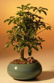 Hawaiian Umbrella Bonsai - Bonsai Creek