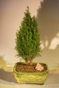 Italian Cypress Evergreen Bonsai