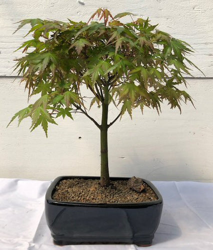 Japanese Maple Bonsai - Bonsai Creek
