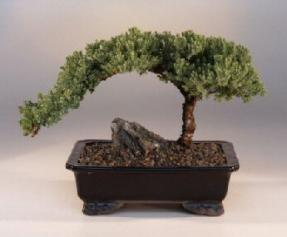 Juniper Bonsai - Bonsai Creek