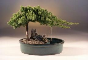 Juniper Bonsai in Water Pot - Bonsai Creek