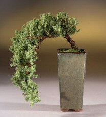 Juniper Bonsai - Cascade Style - Bonsai Creek