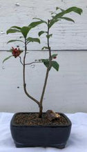 Load image into Gallery viewer, Mickey Mouse Bonsai