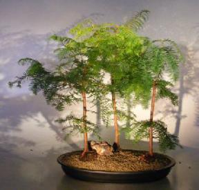 Dawn Redwood Bonsai Mini Forest