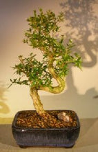 Load image into Gallery viewer, 'Tree of a Thousand Stars' Bonsai - Bonsai Creek