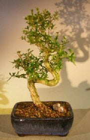 'Tree of a Thousand Stars' Bonsai - Bonsai Creek