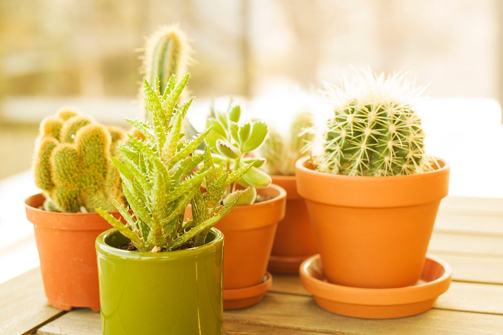 Mini cacti in colorful pots on a table.