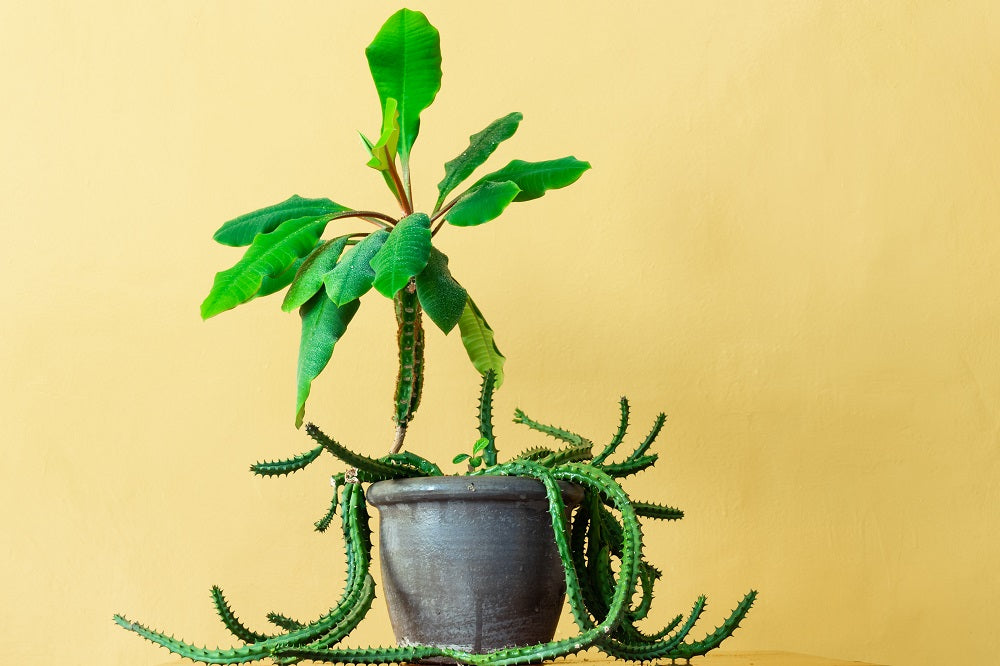 Exotic houseplant in a grey pot against a yellow backdrop.