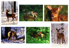White-Tail Deer - Box of 6 Notecards
