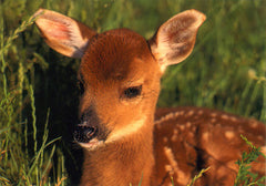 Sitting White-Tailed Deer Fawn