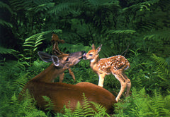 Doe and Twin Fawns