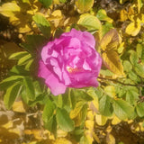 pink rosehip flower image by Jah Crystal, Healing Herbal Skincare