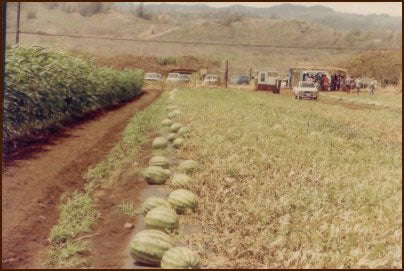 Rows of Watermelon