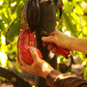 hawaiian chocolate cacao pod