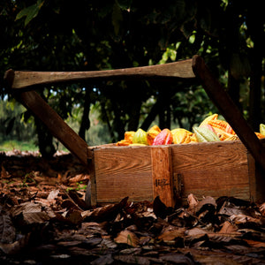 take a tour to see cacao orchards and cacao trees in hawaii