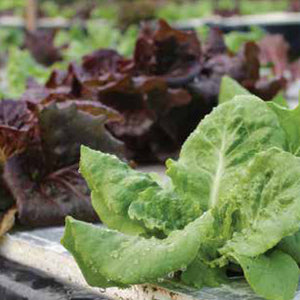Home-Style Hydroponic Lettuce Kits