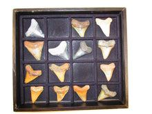 Load image into Gallery viewer, Fossilized Shark Teeth