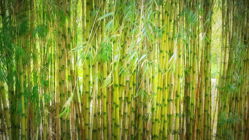 4 Fun Facts You Didn't Know About Bamboo