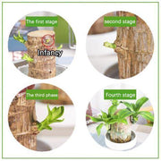 Brazilwood Hydroponic Plants Groot Lucky Wood Potted 🔥